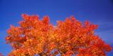 Autumn Tree under the Blue Sky  Rocklin  Placer County  California  USA