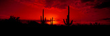 Saguaro Cactus (Carnegiea Gigantea) in a Desert at Dusk  Arizona  USA