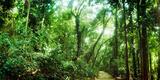 Trees Along Pathway in the Botanical Garden  Jardim Botanico  Zona Sul  Rio De Janeiro  Brazil