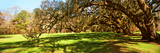 Trees Covered with Spanish Moss  Magnolia Plantation and Gardens  Charleston  South Carolina  USA