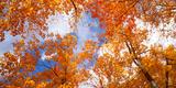 Maple Trees in Autumn  Vermont  USA