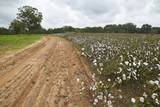 Cotton Fields Alongside Dirt Road