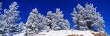 Snow Covered Pine Trees  Colorado  USA