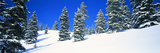 Pine Trees on a Snow Covered Hill  Colorado  USA