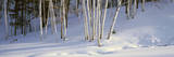 Birch Trees in the Snow  South of Woodstock  Vermont