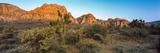 Joshua Trees in a Desert  Red Rock Canyon  Las Vegas  Nevada  USA
