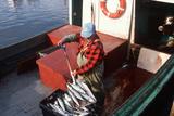 Mackerel Fisherman Shoveling Fish in Cape Breton  Nova Scotia