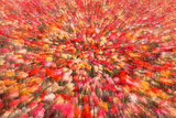 Abstract Shot of Field of Ranunculus  San Diego  California