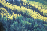 Aerial View of Aspen Trees  San Juan National Forest  Colorado