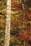 Birch Trees in Autumn  Maine