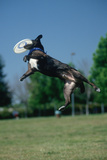 Dog Catching Frisbee at Canine Frisbee Contest  Los Angeles  California