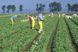 Farm Workers Picking Vegetables in a Field
