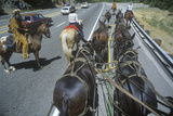 View of Team of Horses in Wagon Train During Reenactment Near Sacramento  CA