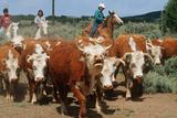 Navajo Family on Horseback Rounding Up Herd of Cattle  AZ