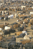 Herd of Cows in Dairy Corrals
