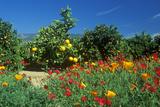 Spring Flowers in Orange Groves  Ventura County  CA
