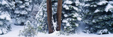 Snowy Forest in the Sierra Nevada  California