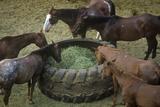 Horses Feeding  Cotton Club Horse Ranch  Malibu  CA