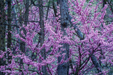 Red Bud in Bloom  Ky