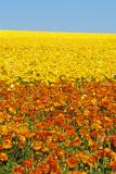 CArlsbad Ranch  Ranunculus  San Diego  CA