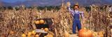 Pumpkin Scarecrow in a Cornfield  Ojai  California