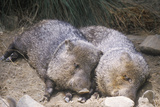 Two Javelinas Lying Together in Hay