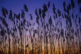 Silhouette of Reeds in Marsh at Sunset  Delaware Bay  De