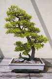 Japanese Bonsai Tree in National Arboretum  Washington DC