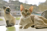 The Singapura Breed of Cat  Declared by the Singapore Government to Be a Living National Monument