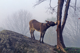 Donkey on Hill with a Tree in Fog Near Great Barrington  Ms