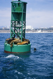 Seals on Buoy  Santa Monica Bay  Santa Monica  CA
