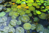 Lily Pads in Garden  Miami  FL