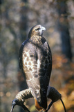 Red Tailed Hawk  Land Between Lakes  Ky