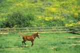 Arabian Colt in Spring Field  Ojai  CA