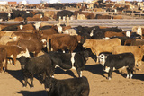 Cattle in Feed Lots  CO