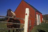 Horse and Red Barn  Cape Breton  Nova Scotia