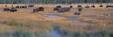 Buffalo Grazing  Yellowstone National Park  Wyoming
