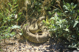 Rattlesnake Coiled  NM