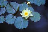 Close Up of Lily Pads  Huntington Gardens  Pasadena  CA