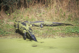 American Alligator  Hunting Island  Sc  Alligator Mississippietes