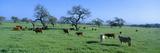 Cattle Grazing  Santa Ynez Valley  California