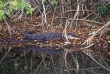 Alligator in Swamp  Jn Ding Darling National Wildlife Refuge  Sanibel  FL