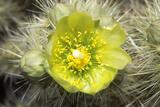 Buckhorn Cholla CActus  Anza Borrego Desert  CA