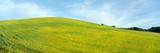 Spring Field  Mustard Seed  Near Lake Casitas  California