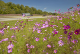 Pink and Purple Flowers Blooming Along Interstate Highway in Sc with Passing Vehicles