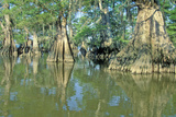 Cypress Trees in the Bayou  Lake Fausse Pointe State Park  Louisiana