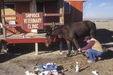 Large Animal Veterinarian Tending to an Injured Horse  Shiprock  NM