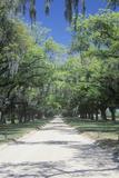 Spanish Moss Covered Oak Trees Lining a Plantation Road  Sc
