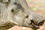 Closeup of Face of Warthog in Umfolozi Game Reserve  South Africa  Established in 1897
