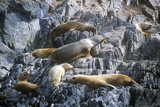 Southern Sea Lions on Rocks Near Beagle Channel and Bridges Islands  Ushuaia  Southern Argentina